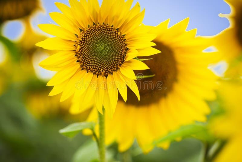 Słonecznik Olej słonecznikowy może być stosowany do silników Diesla, jeżeli jest mieszany z olejem napędowym w zbiorniku fotografia royalty free