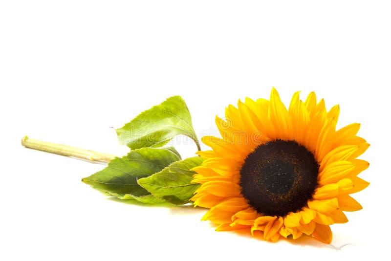 słonecznik pogodny obrazy royalty free