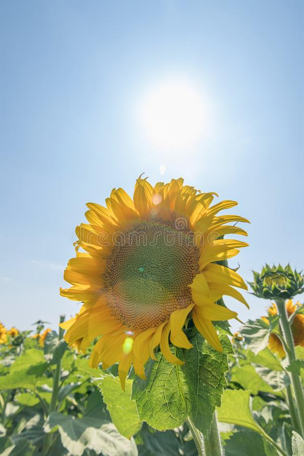 Słonecznik, pole kwitnący słoneczniki obrazy royalty free