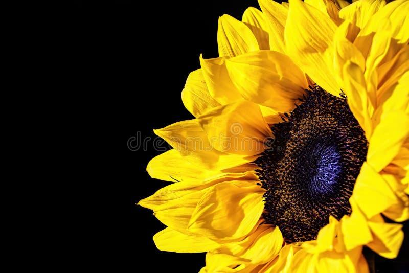 Słonecznik przy 5 fotografia royalty free
