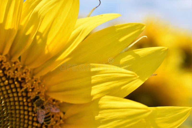 Słonecznik pszczoła zdjęcia royalty free