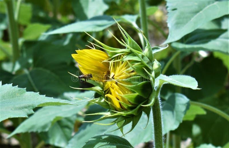 Słonecznik pszczoła fotografia stock