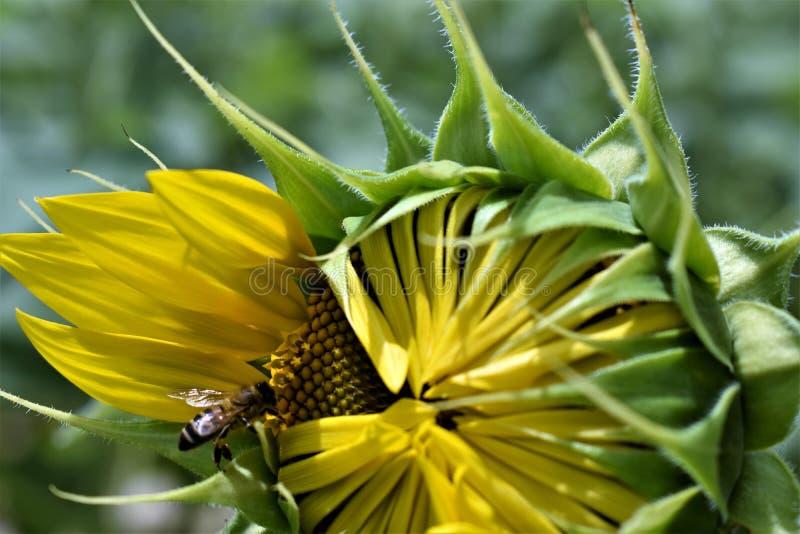 Słonecznik pszczoła fotografia royalty free