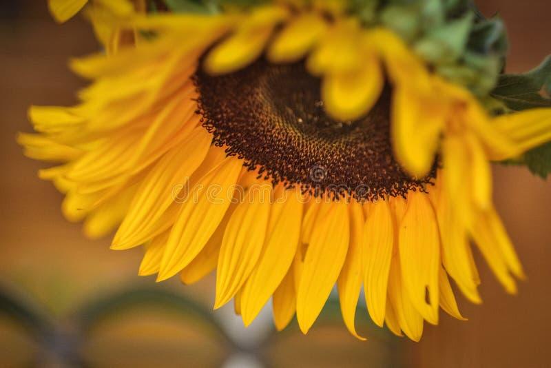 Słonecznik w górę, żółci słonecznikowi płatki fotografia royalty free