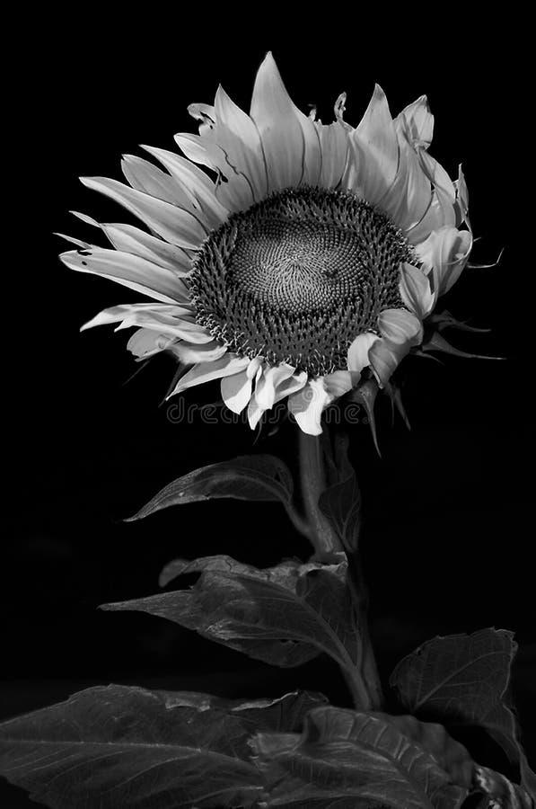 Słonecznik w monochromu