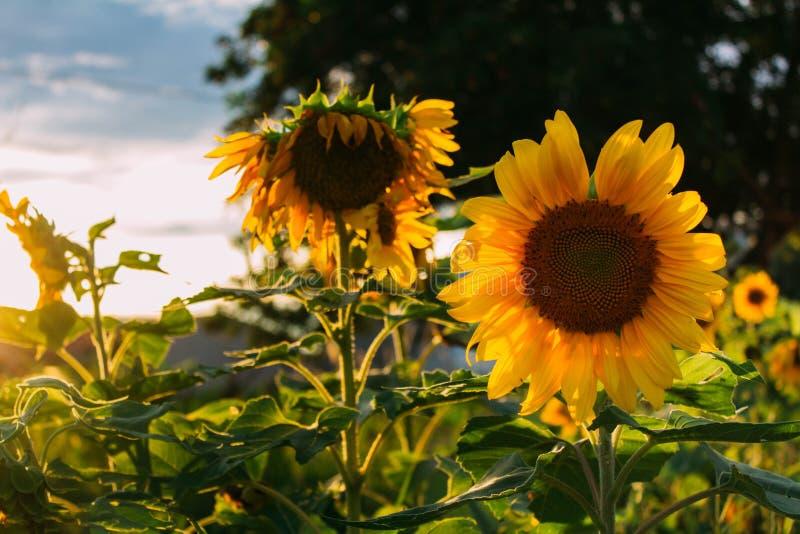 Słonecznik w polu zdjęcie royalty free