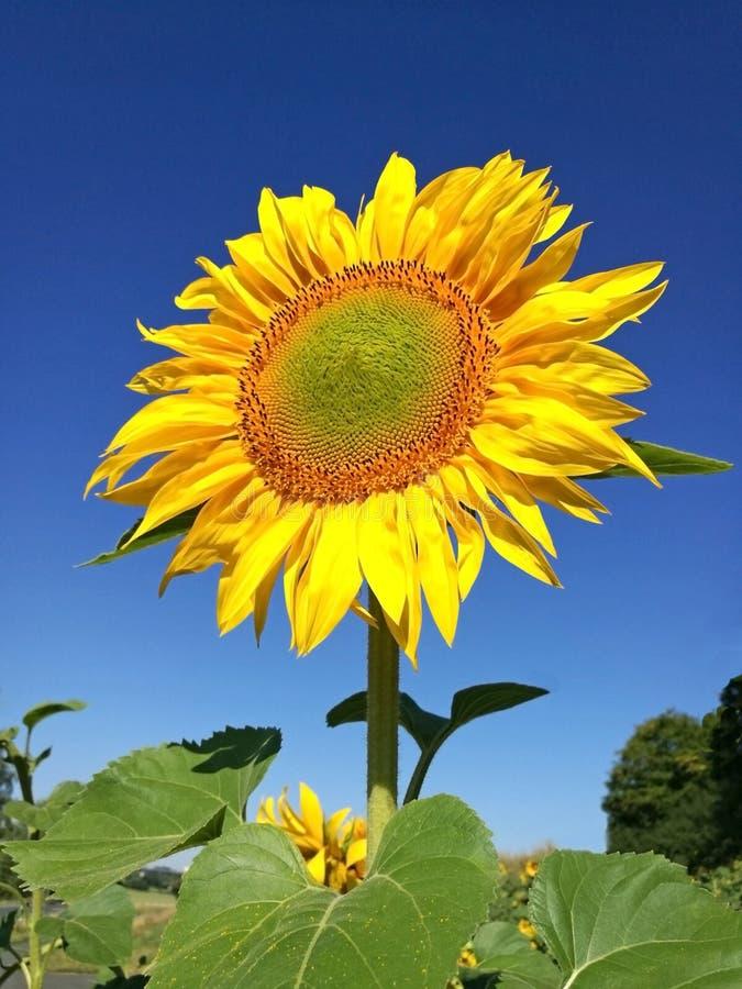 Słonecznik w polu, niebieskie niebo zdjęcie royalty free