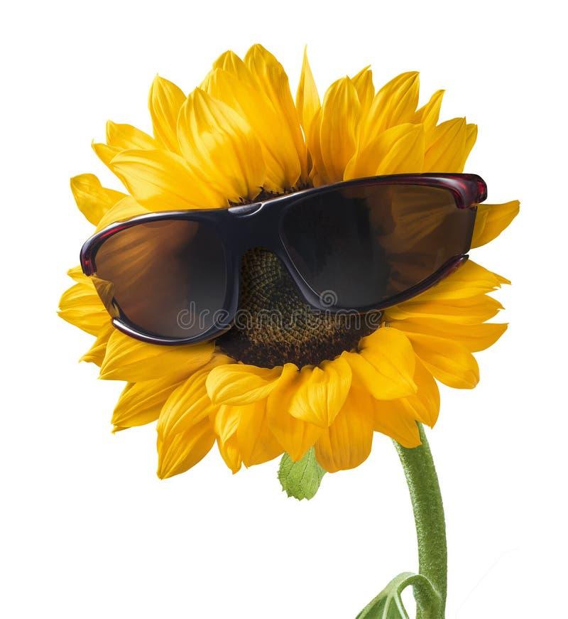 Słonecznik w słońc szkieł wakacje odizolowywającym na białym tle zdjęcie royalty free