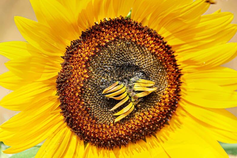Słonecznik w słońcu z suszy w górę florets zdjęcie stock