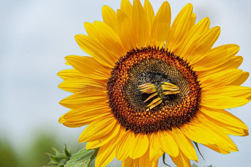 Słonecznik w słońcu z suszy w górę florets zdjęcia royalty free