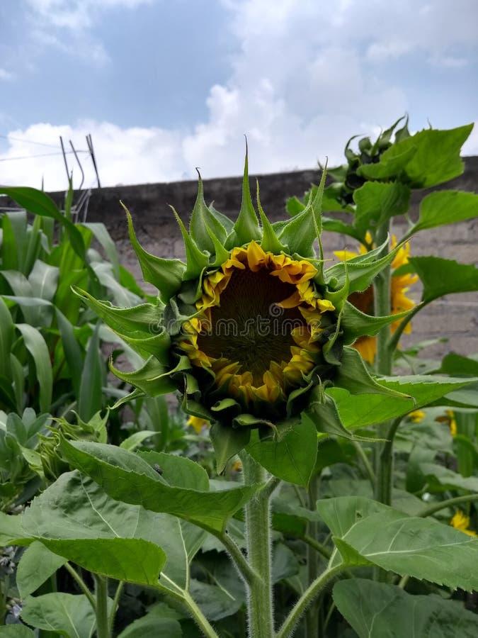 Słonecznik w trakcie maturation fotografia stock