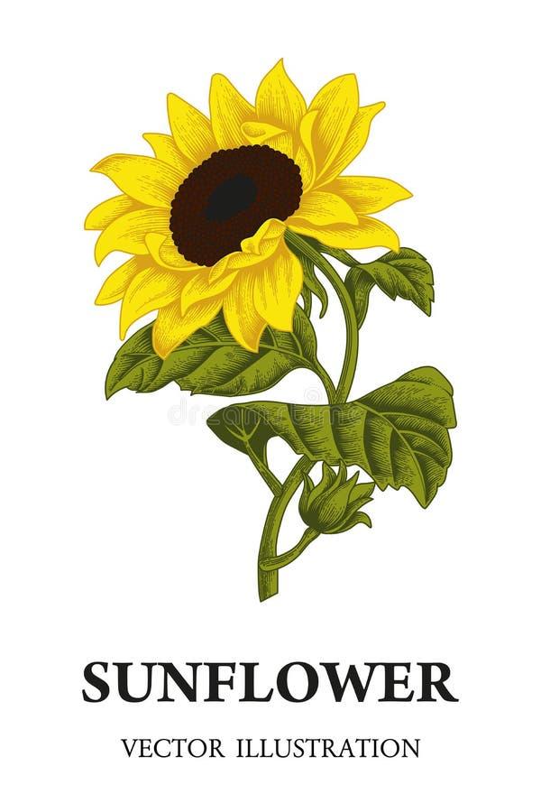 Słonecznik Wektorowa ilustracja w rocznika stylu ilustracja wektor