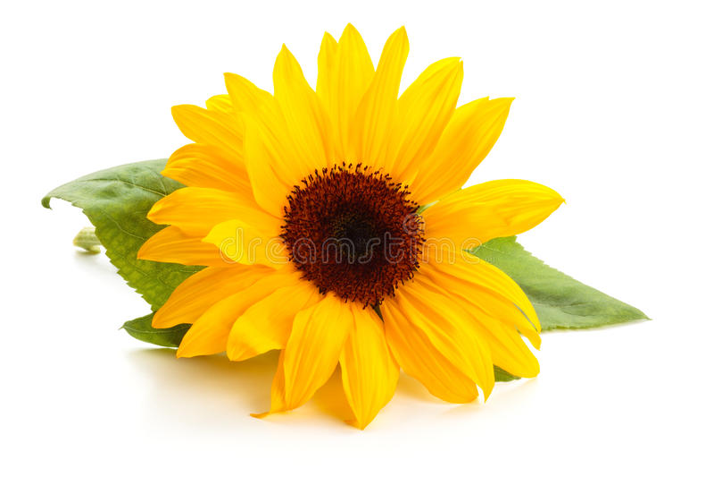 Słonecznik z liśćmi fotografia royalty free