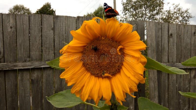Słonecznik z motylem zdjęcie royalty free