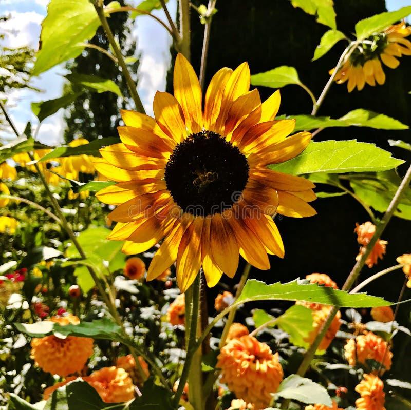 Słonecznik z pszczołą zdjęcie stock