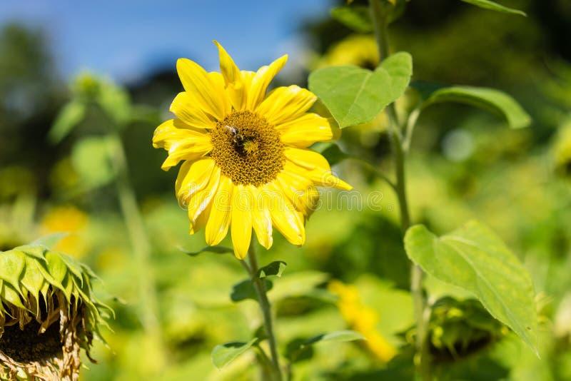 Słonecznik z pszczołą w słonecznika polu obok więdnącego słonecznika fotografia royalty free