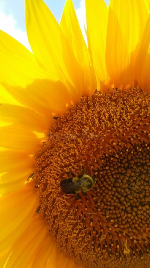 Słonecznik z ruchliwie pszczołą w makro- obrazy royalty free