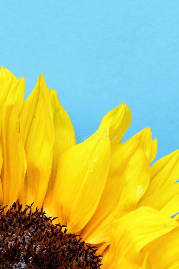 Słonecznik zamknięty up na bławym tle obrazy royalty free
