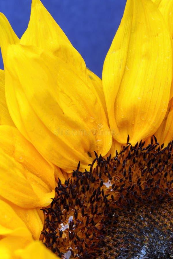 Słonecznik zamknięty up na jaskrawym wspaniałym błękitnym tle obrazy stock