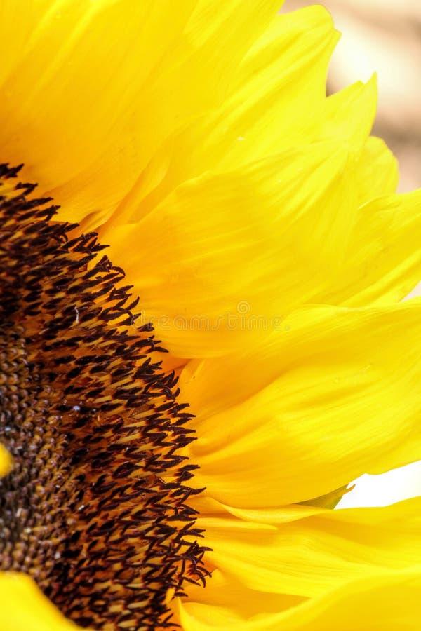 Słonecznik zamknięty up na lekkim tle zdjęcia royalty free