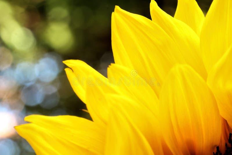 Słonecznik zamknięty up na naturalnym zielonym tle obraz royalty free