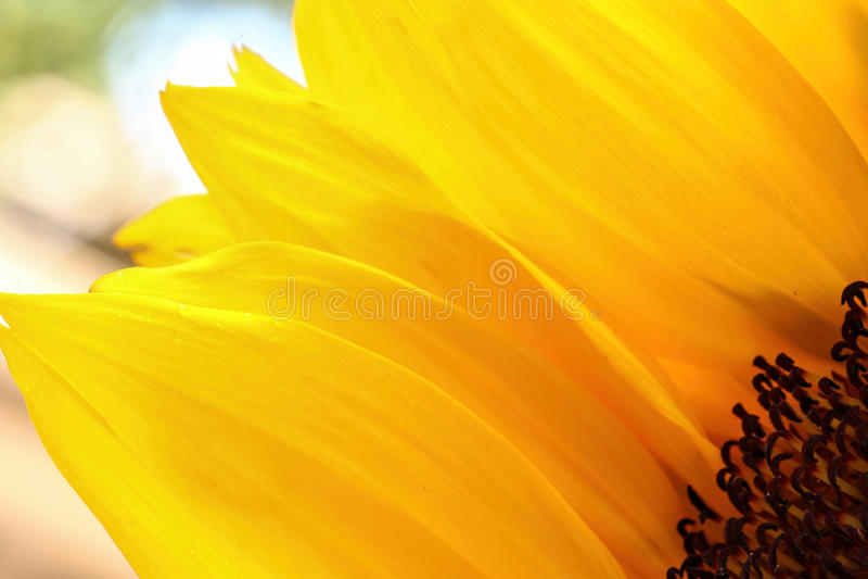 Słonecznik zamknięty z lekkim tłem up zdjęcie stock