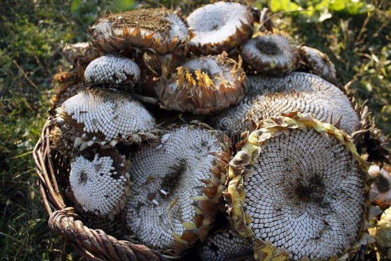 Słonecznik zbierający w koszu obraz stock