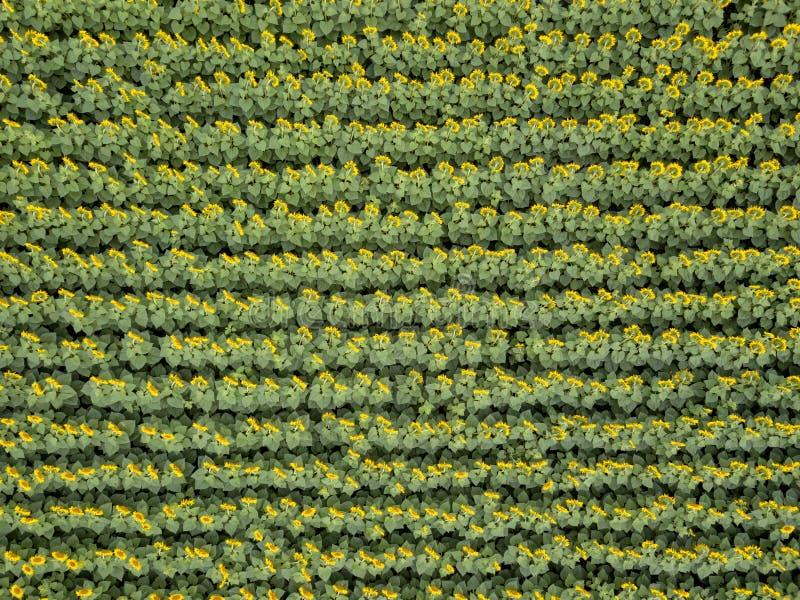 Słonecznika śródpolny tło na lato zmierzchu Widok z lotu ptaka od trutnia żółty słonecznika pole obrazy royalty free