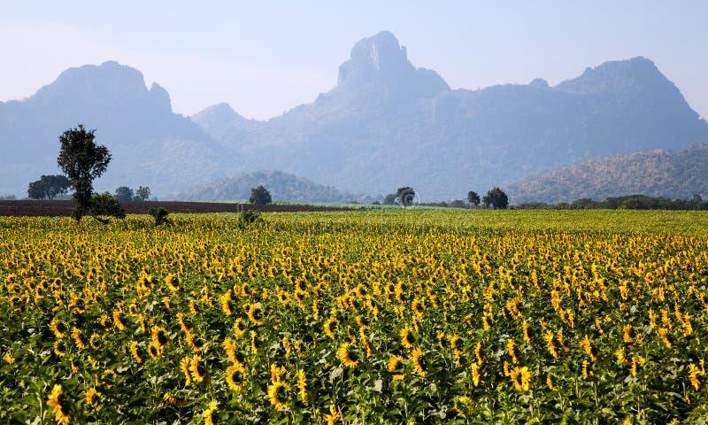 Słonecznika gospodarstwo rolne obrazy stock