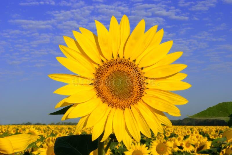 słonecznika kolor żółty obraz royalty free