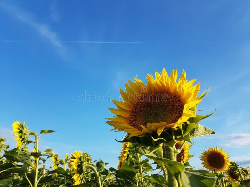 Słonecznika niebieskie niebo z biel chmur kolorów lata wibrującym krajobrazem i pole fotografia royalty free