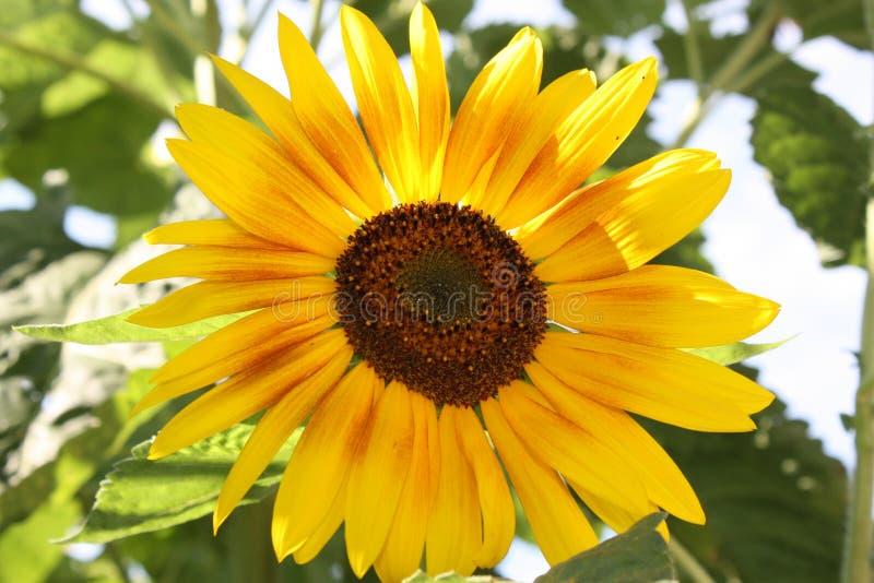 Słonecznika pola kwiatu słońca kwiat obrazy royalty free