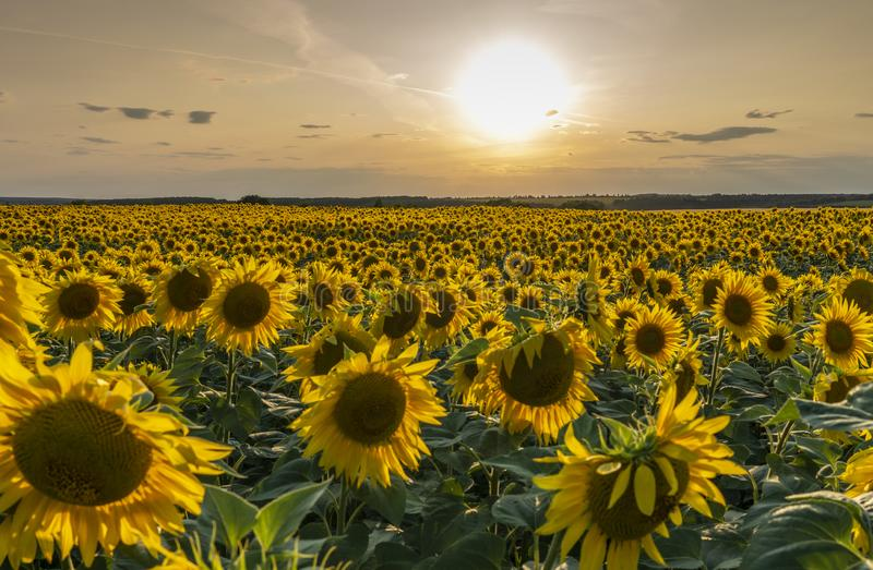 Słonecznika pole iluminujący promieniami położenia słońce przeciw zmierzchowi obraz royalty free