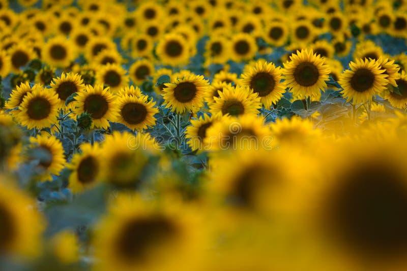 Słonecznika pole na zmierzchu czasie w lecie zdjęcie stock
