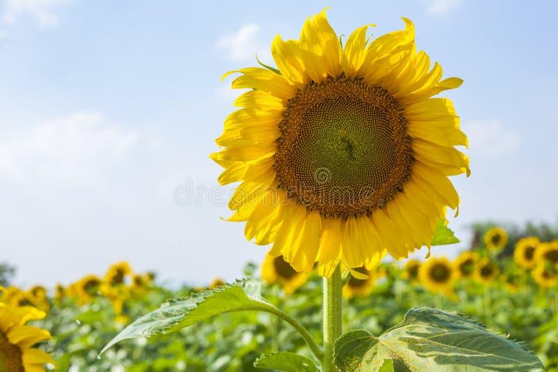 Słonecznika pole nad chmurnym niebieskim niebem i jaskrawymi słońc światłami zdjęcie stock