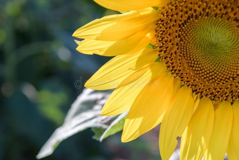 Słonecznika pole podczas błyszczącego dnia obraz stock