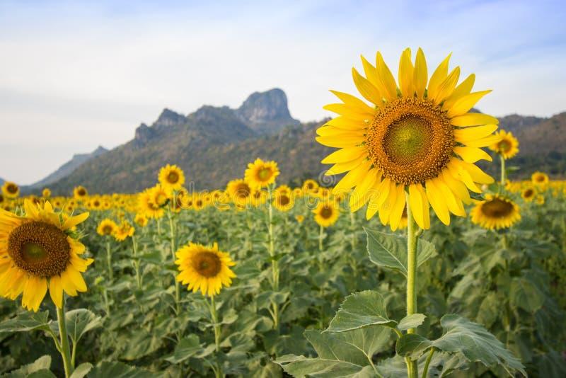 Słonecznika pole przed górą zdjęcie royalty free