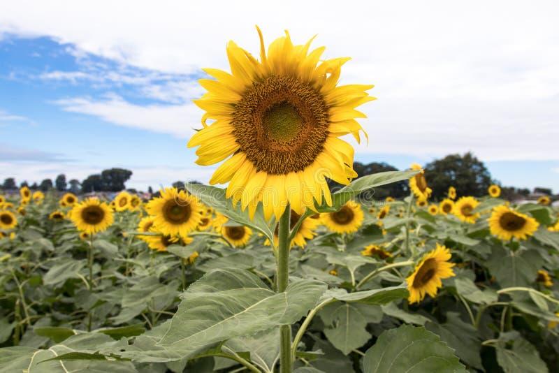 Słonecznika pole w Kiyose, Japonia zdjęcie stock