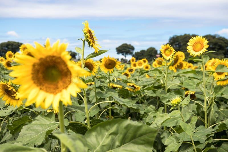 Słonecznika pole w Kiyose, Japonia obraz royalty free