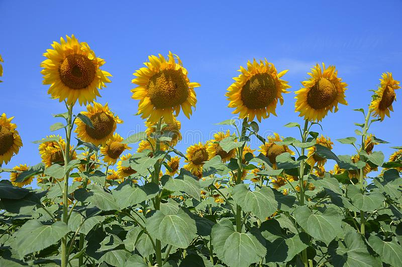 Słonecznika pole w południe Rosja obrazy royalty free