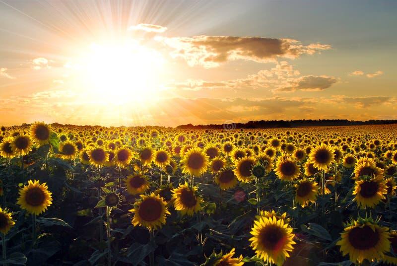 słonecznika zmierzch zdjęcia royalty free