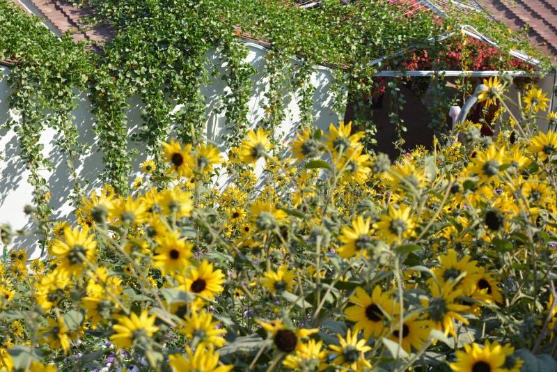 Słoneczniki łatają w ogródzie zdjęcie royalty free