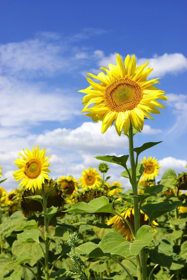 słoneczniki fotografia royalty free