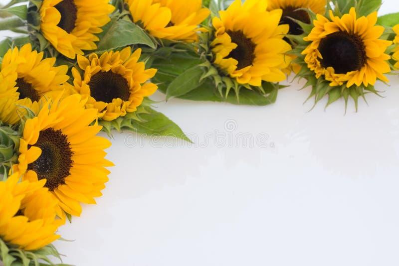 słoneczniki fotografia stock