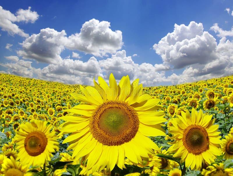 słoneczniki zdjęcia stock