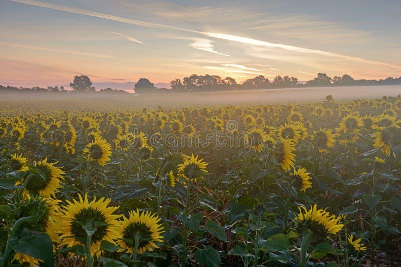 Słoneczniki czeka wschód słońca na mglistym ranku zdjęcie stock