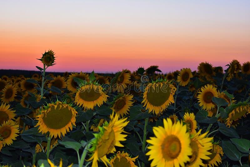 Słoneczniki, czerwony niebo i zmierzch, zdjęcie royalty free