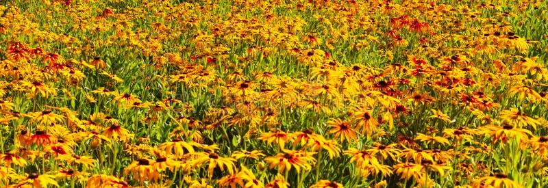 Słoneczniki denni obrazy stock