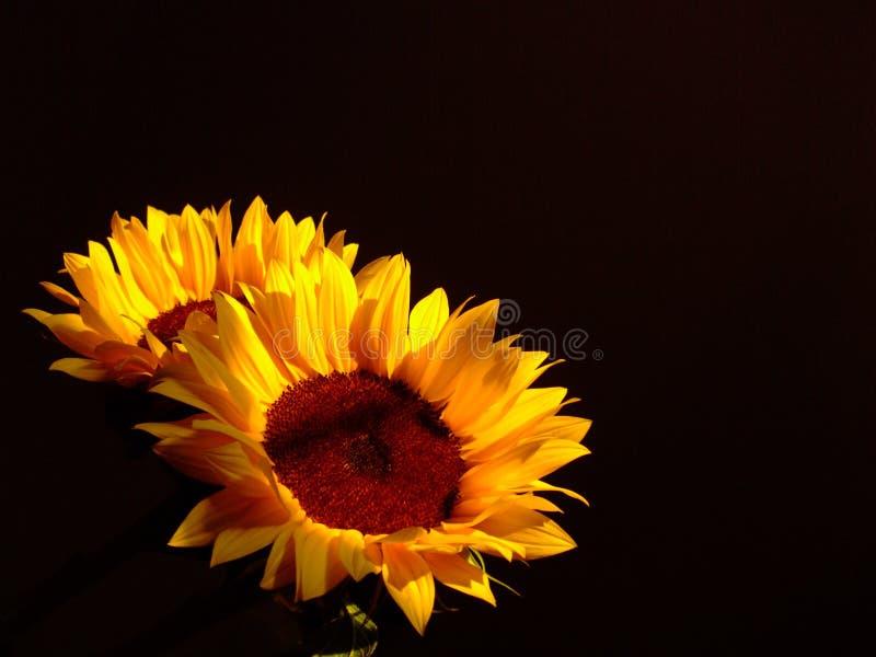 słoneczniki dwa obrazy stock