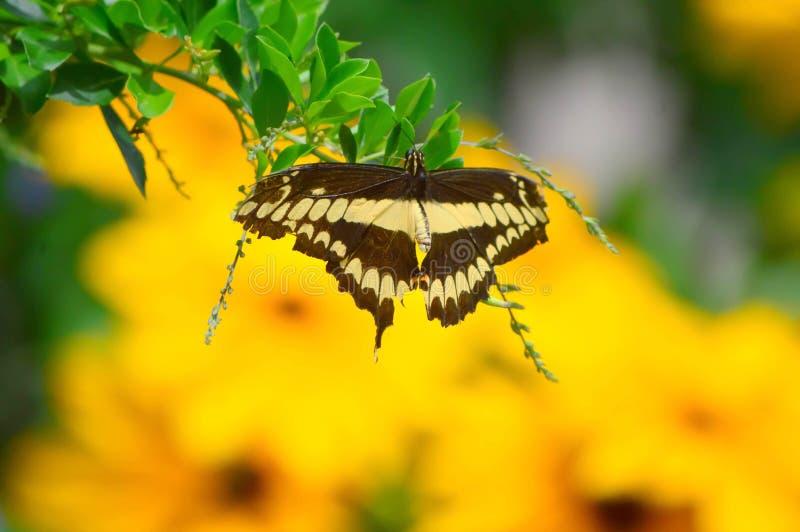 Słoneczniki i Gigantyczny dymówka ogonu motyl zdjęcie stock